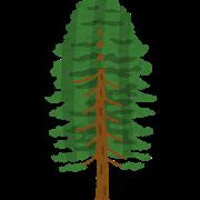 ヒノキの木のイラスト